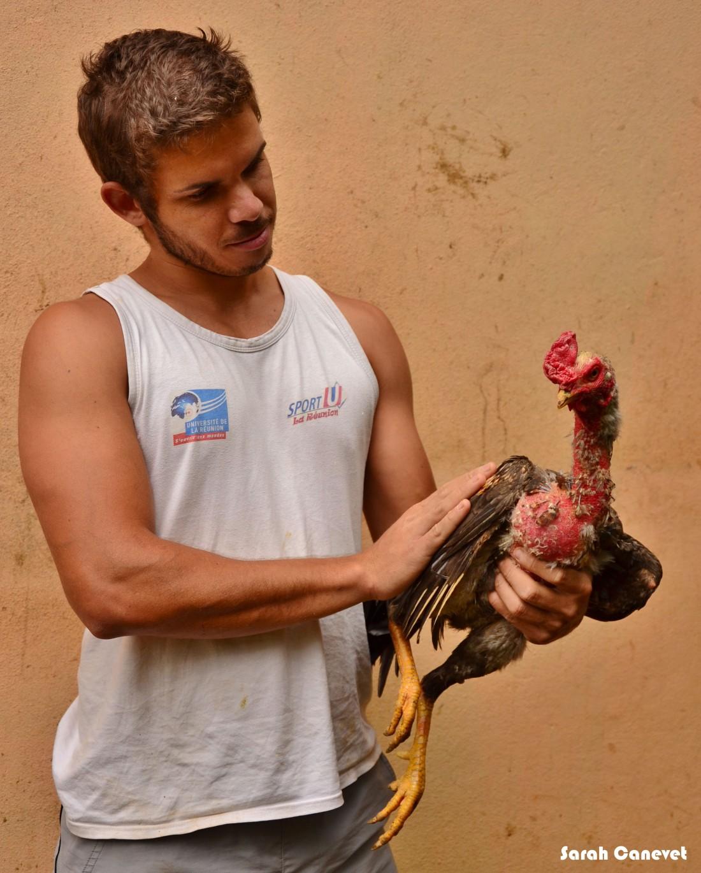 Batay coq à la Réunion